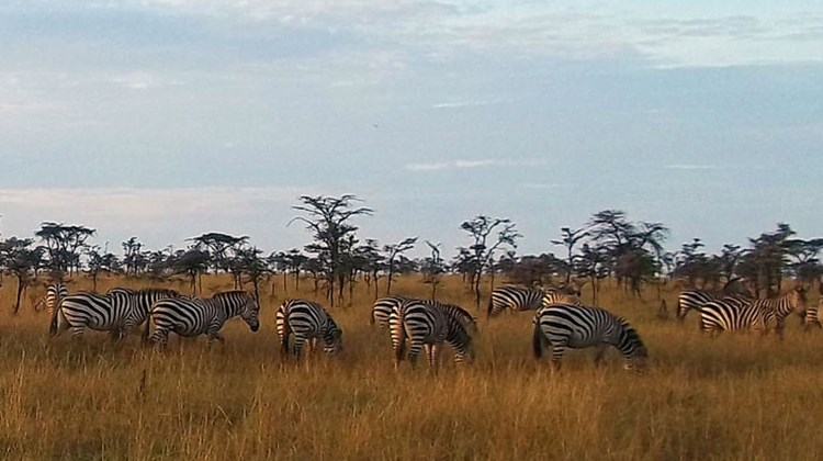 A herd of zebra graze in early-morning sunshine at the Olare Orok Conservancy.