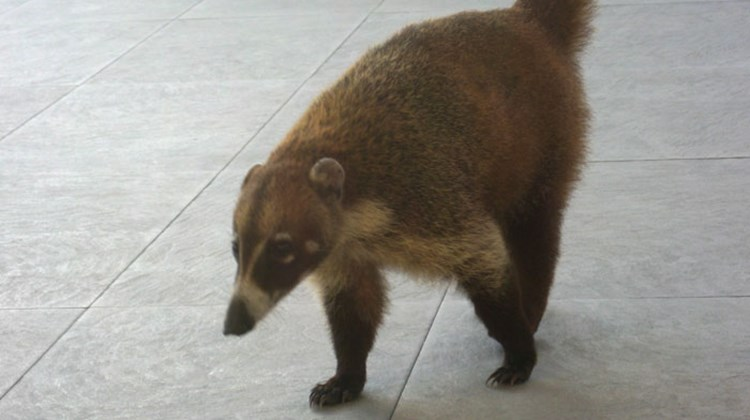 This coati at the Iberostar Grand Paraiso loves hamburgers. TW photo by Gay Nagle Myers