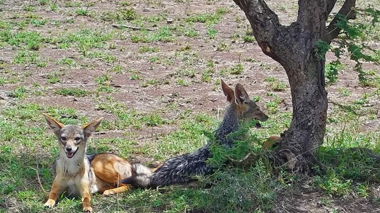 Two jackals take a break from scavenging in the Olare Orok Conservancy.