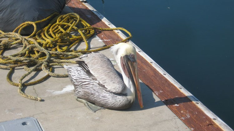 The mascot of the marina area in Mazatlan is a one-winged pelican that was injured in an accident and saved by the marina dock master several years ago.