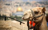 camel near the Temple Mount