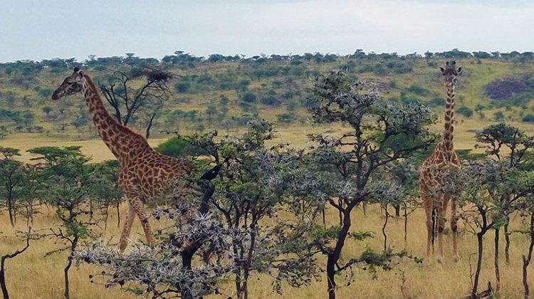 Two giraffes, usually solitary feeders, forage together in the Olare Orok Conservancy.