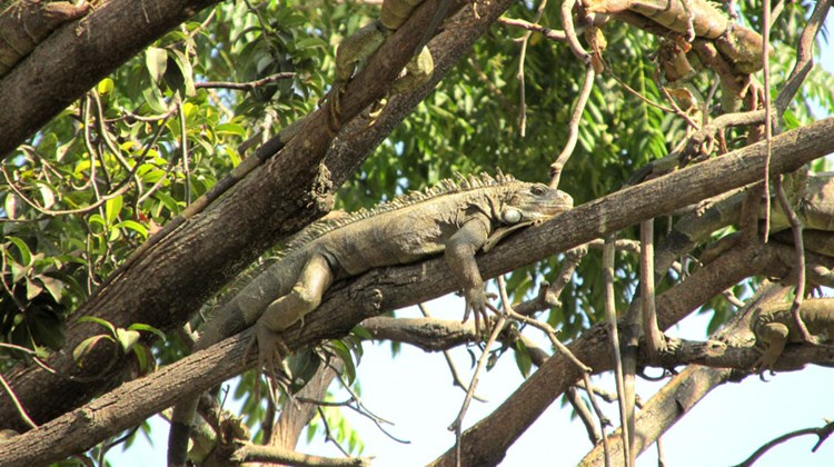 Yet another name for Seminary Park is Iguanas Park, after its many reptilian residents.