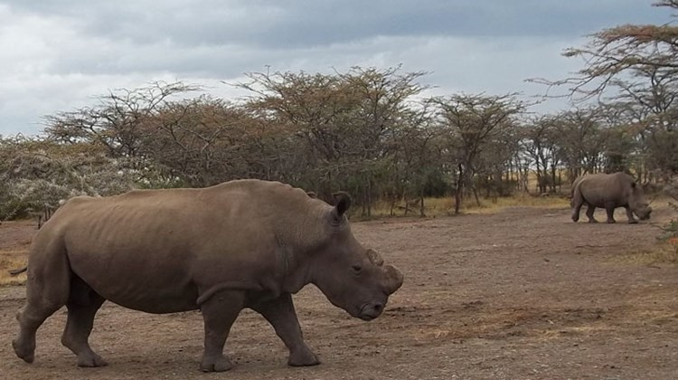 Two of the four northern white rhinoceroses, transferred from a zoo in the Czech Republic, being reintroduced to the wild at the Ol Pejeta Conservancy.