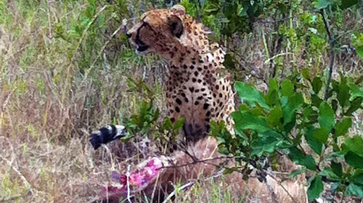 An alert and atypically large cheetah guards its fresh kill, an impala, in the Ol Pejeta Conservancy in west central Kenya.