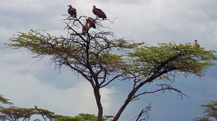 Vultures in treetops are a good indication a kill has recently taken place nearby.