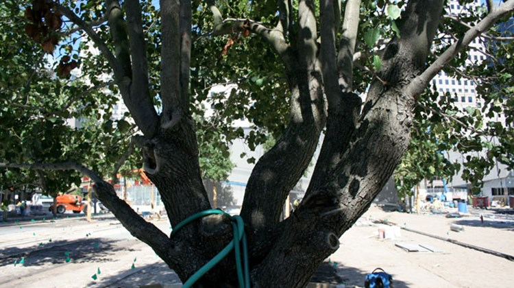 "All the trees in the memorial plaza are oak, except for this one, a Callory Pear tree, also known as the ""survivor tree."" The Parks Department rescued it from the rubble following 9/11. It had been reduced to a stump, but has since sprouted new branches."