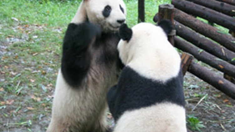 Panda bears playing at the Chengdu panda research center. A larger center at Wolong remains closed due to the May 12 earthquake.
