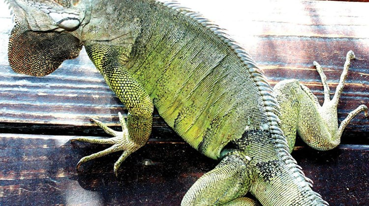 Iguanas are everywhere on Aruba! This not-so-little guy caused guests to lift up their feet when he walked under tables at the Holiday Inn Resort's Sea Breeze restaurant one morning
