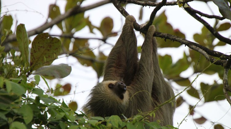 A two-toed sloth spotted hanging from a tree near the port of Moin.