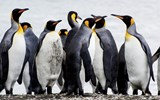 South Georgia is a standout for its massive numbers of king penguins.