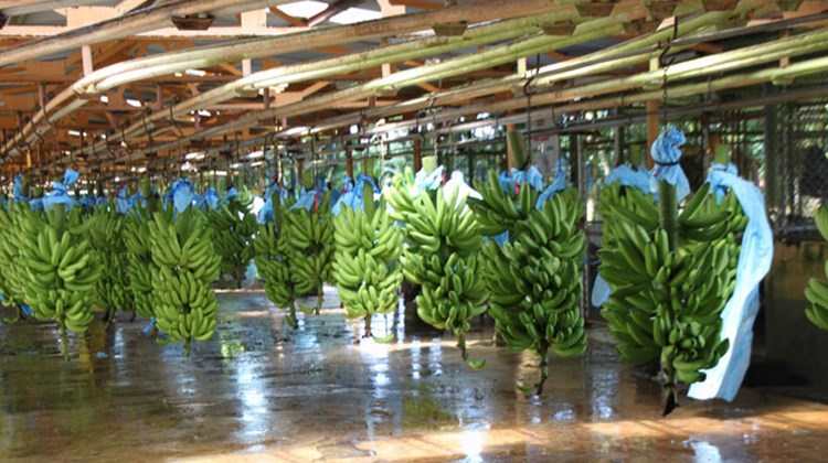 Scores of banana stocks are brought from the fields for processing at the Filadelfia Packing Plant. The blue plastic protected them from insects and acted as small greenhouses while they were maturing. The banana plantation tour is one of several types of plantation tours offered to cruisers.