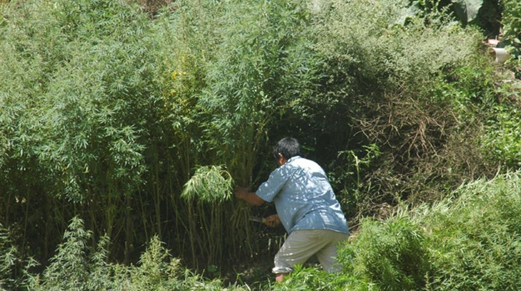 A worker clears a stand of marijuana plants in the town center of Jakar.