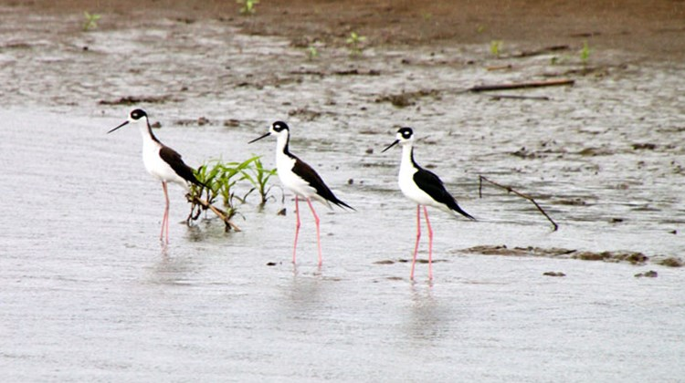 A trio of black-necked stilts, lined up like showgirls.