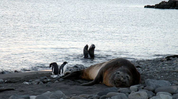 A massive, one-ton elephant seal lounges in Admiralty Bay, with much smaller fur seals playing in the water behind him.