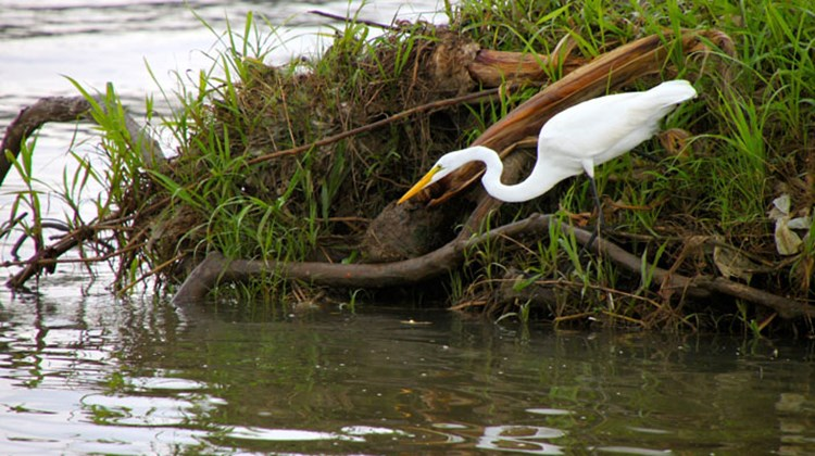 A great egret reaching out for a snack.