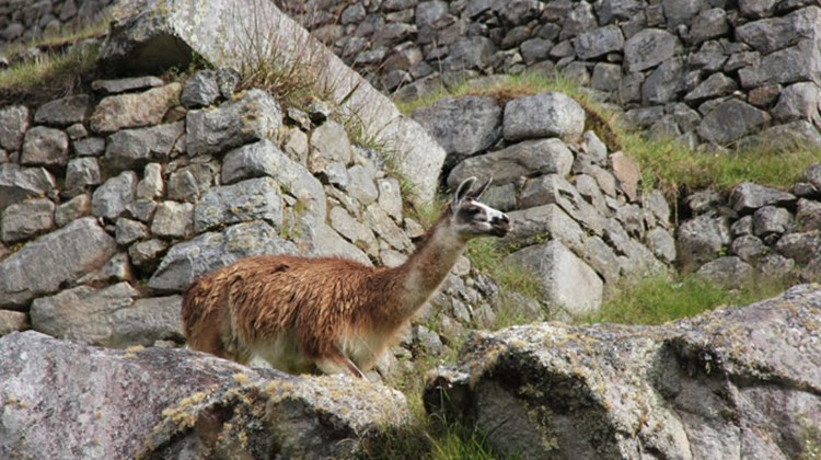 A llama wanders through the ruins of Machu Picchu.