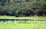A flock of great white egrets settle in a swampy clearing off a tributary of the Amazon.