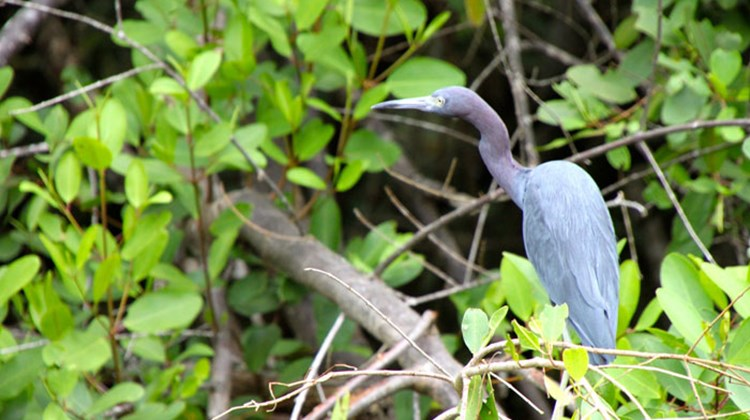 A little blue heron, photographed alongside the Tortuguero Canals, which are close to Costa Rica's Caribbean shore.