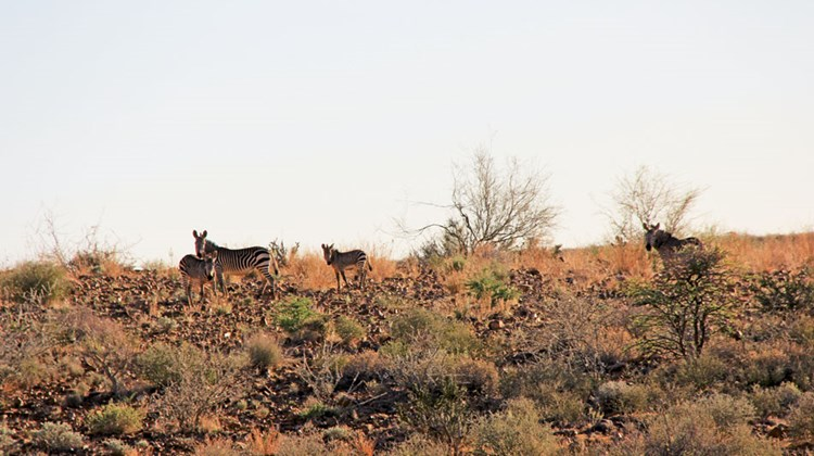 Hartmann's mountain zebras, found only in Namibia.
