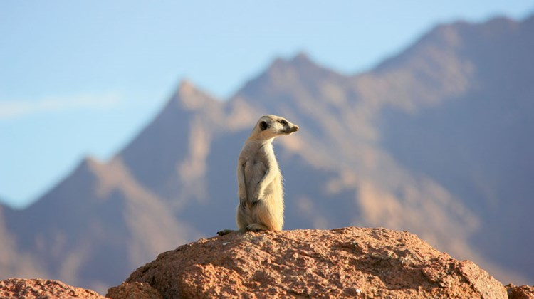 A meerkat on the lookout in Brandberg Nature Reserve.