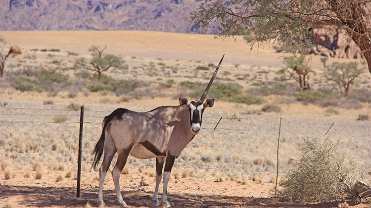 A one-horned gemsbok (known outside southern Africa as oryx) would be at a significant disadvantage in a fight.