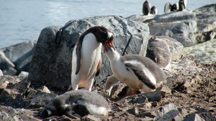 A mother Ghentoo penguin feeds her chick during a stop on an Antarctic island.