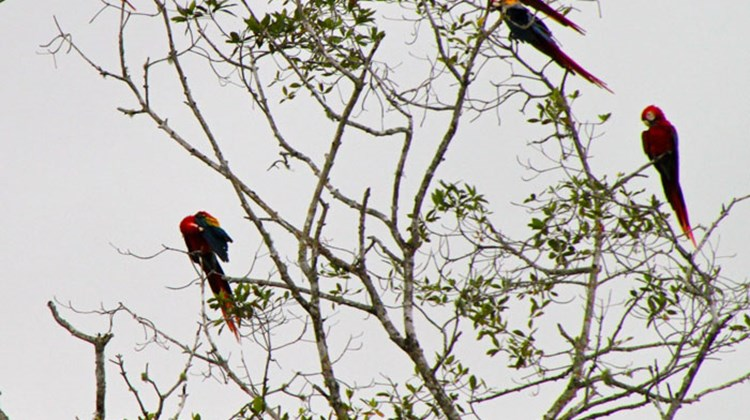 Scarlet macaws perched in a group well above the river.