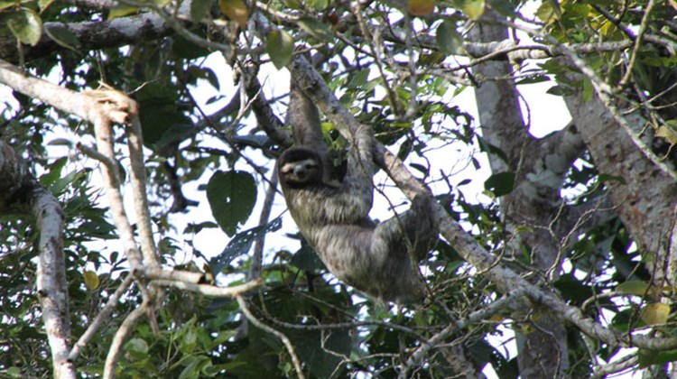 A three-toed sloth hanging from a tree alongside the Tortuguero Canals, a sightseeing destination for cruisers docking on Costa Rica's Caribbean side.