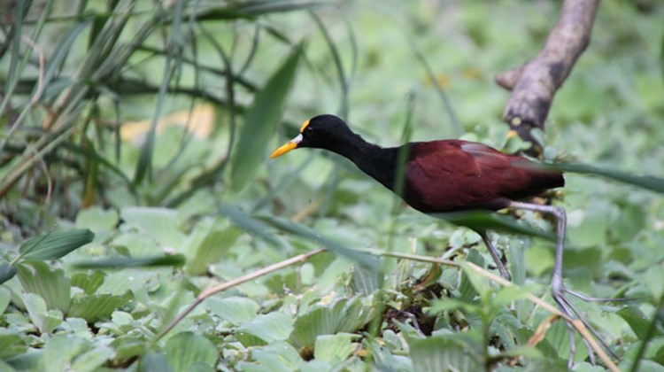 A northern jacana, seen in a brisk food-gathering walk at the Costa Rica Sloth Rescue Center.