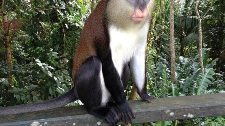 Mona monkeys are found only on Grenada and are a protected species living in the rainforest. This one was spotted near Grand Etang National Park.