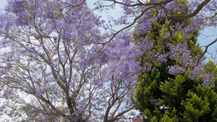Jacarunda trees in Mexico bloom in spring. Each tree has lavender or yellow blossoms.