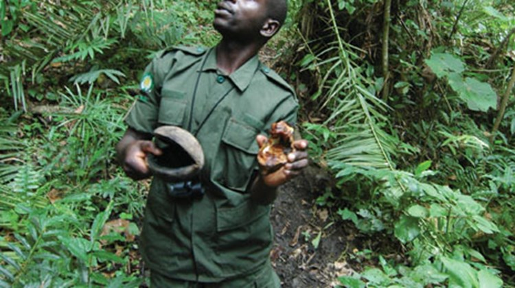 Guide Jimmy Kisembo looks into the canopy for signs of chimpanzees in Kyambura Gorge. He holds large seed pods that the chimps use as drinking cups.
