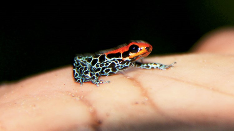 A tiny poison dart frog rests on the palm of the hand of a G Adventures guide.