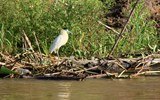 A capped heron
