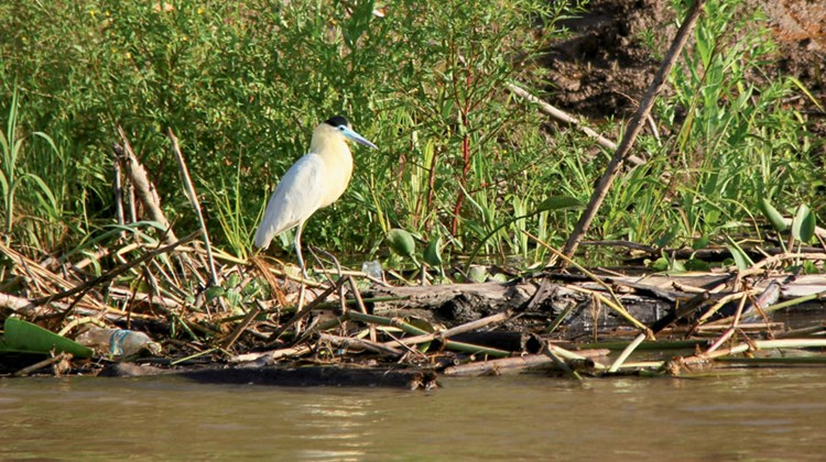 A capped heron.