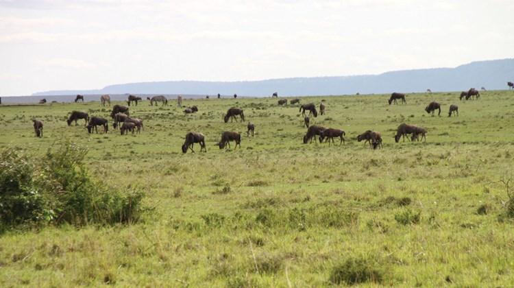 Scores of wildebeest and other wildlife as seen from the unfenced Mara Plains tent camp. The camp is located on the Olare Motorogi Conservancy, which abuts the Maasai Mara National Reserve.