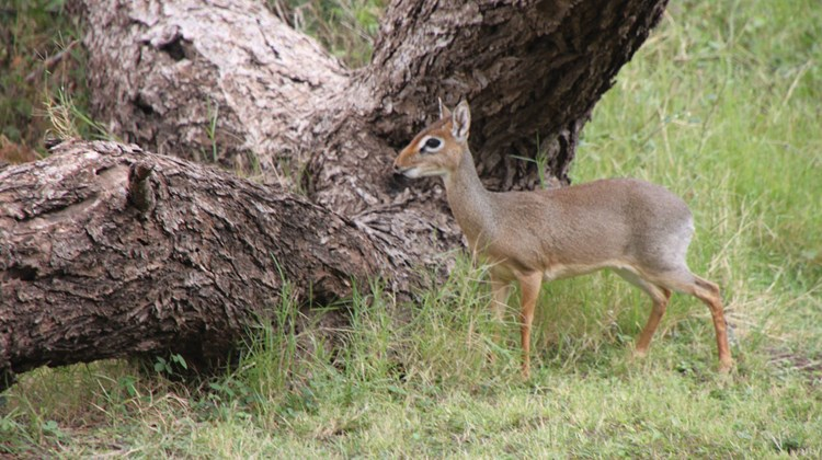 A dik-dik, one of the world's smallest antelopes, within feet of guest tents on the grounds of the fenced Tortilis camp, on a conservancy near Amboseli National Park.