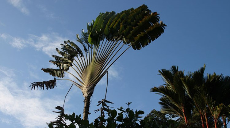 A traveler palm tree, seen at the Sloth Rescue Center near Limon.