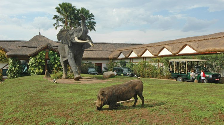 A warthog helps keep the grass short on the lawn of Mweya Safari Lodge in Queen Elizabeth National Park.