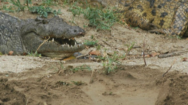 A crocodile watches over newborns on a muddy bank of the Nile near Murchison Falls.
