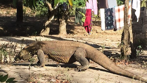 This Komodo Dragon is about 7 feet long and estimated by guides to be about 25 years old.